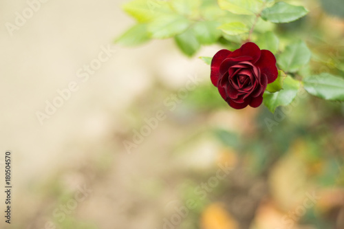 perfect-red-rose
