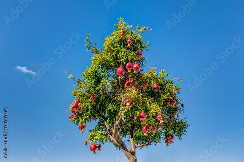Pomegranates tree against blue sky