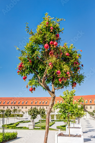 Pomegranates tree against blue sky in the courtyard of the Bratislava castle