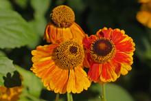Helenium Flowers, Common Name ...