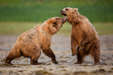 Brown Bears Fighting With Each Other On The Beach In Alaska