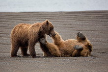 Brown Bears Playing With Each ...