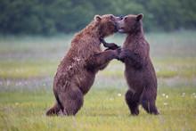 Brown Bears Dancing With Each ...