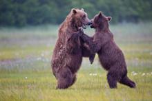 Brown Bears Dancing In The Mea...