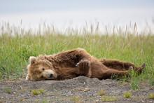 Brown Bear Sleeping In Alaska