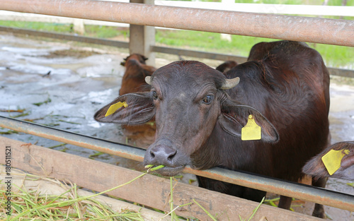 The murrah buffalo in the farm  - Buy this stock photo and explore
