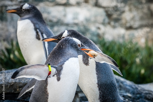 Penguins collecting little pebbles