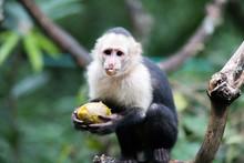 Capicinus Monkey In National P...