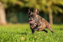 French Bulldog Runs On The Meadow