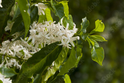 Deurstickers Lelietje van dalen Coffee tree blossom with white color flower close up view. Coffea arábica Guatemala.