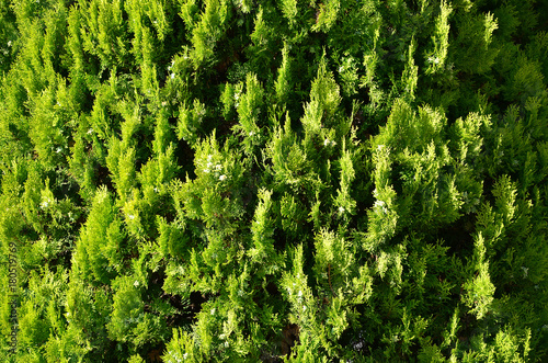 Fototapeten Wald The texture of many branches of green coniferous tree in daylight