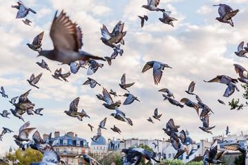 flock of pigeons in Paris, France
