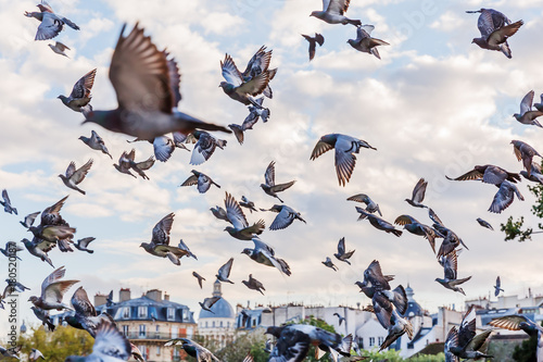 flock of pigeons in Paris, France