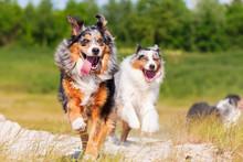 Australian Shepherd Dog Runs Outdoors