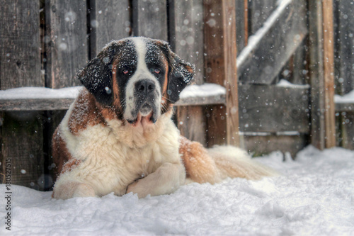 Fotografie, Obraz  St Bernard dog laying in snow