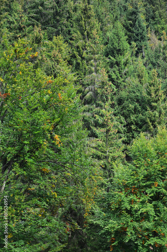 Photo of tree trunks of high forest trees that change color in early autumn 904d353be038