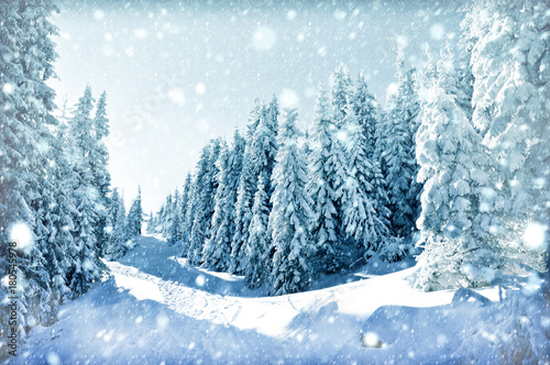 Christmas winter card. Fir trees and snowflakes