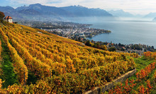 Panorama Of Autumn Vineyards I...