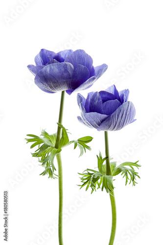 Tela flores anémonas aisladas