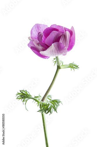 Fotografia flores anémonas aisladas