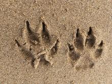 Impronte Di Cane Su Sabbia