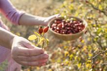 Picking Rosehip