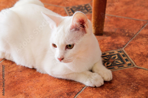 White Cat Portrait At Home Lying And Relaxing Close Up Of White Kitten Cat In House