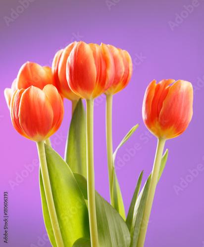 czerwoni-tulipany-na-lilym-tle