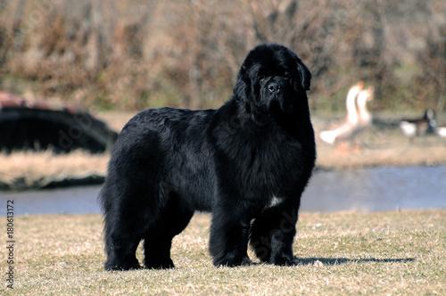 Fotomural Portrait of purebred newfoundland dog