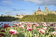 Parliament Hill With Tulips Fr...