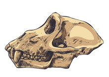 Illustration Of A Monkey Skull...