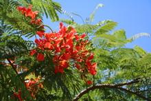 Delonix Regia With Buds And Flowers In Summer, Queensland Australia