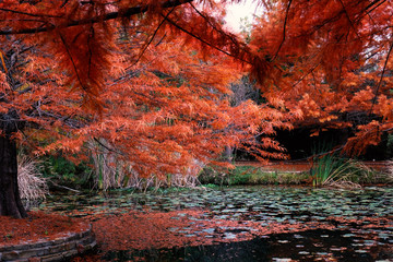 FototapetaRed leaves on scenic trees during fall and autumn season, makes for beautiful view of pond in botanical garden.