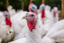 Breeding Turkeys On A Farm.