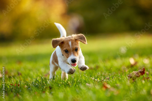 Obraz Dog breed Jack Russell Terrier playing in autumn park - fototapety do salonu