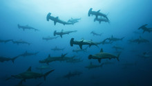 School Of Hammerheads In Galap...