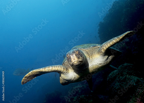 In de dag Schildpad Green Sea Turtle in Galapagos, the Pinnacle of Diving