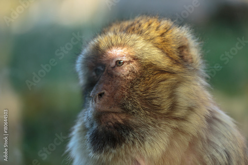 Fotografie, Obraz  Barbary ape,  magot