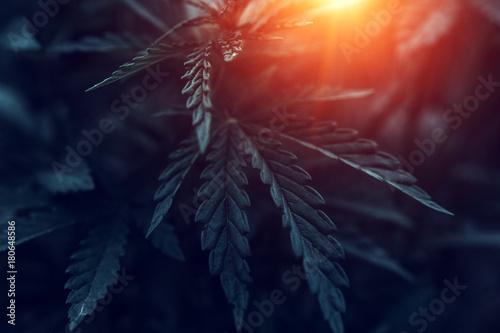 marijuana  background at sunset. bush cannabis. Canvas Print