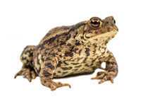 Common Toad White Background