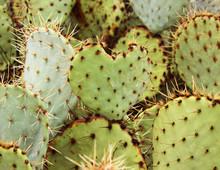 Opuntia Paddle Cactus - Heart ...