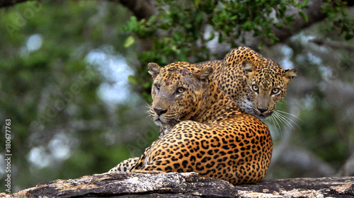 Leopards on a stone. The Sri Lankan leopard . male and female