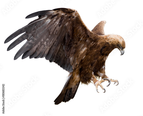 Photo sur Aluminium Aigle golden eagle, isolated