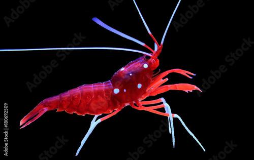 Red Fire shrimp - Lysmata Debelius
