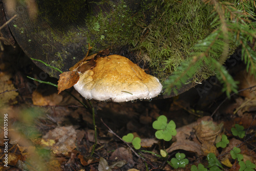 Fototapeta  Fomitopsis pinicola fungus conk grow on the tree, water drops after rain