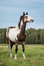 Beautiful Paint Horse In Summer