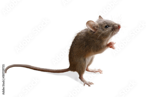 closeup small mouse  stands on its hind legs. isolated on white background