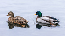 Mallard Duck Pair Swimming