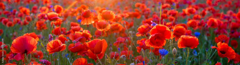 Fototapety, obrazy: Poppy meadow in the light of the setting sun