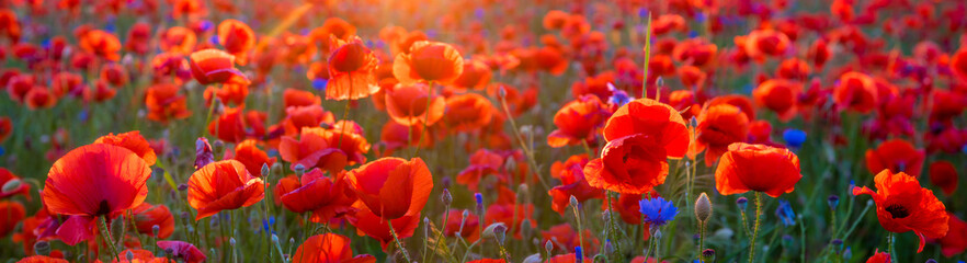 Panel SzklanyPoppy meadow in the light of the setting sun